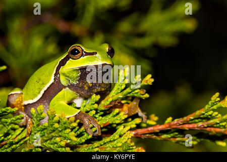 Pine Barrens Tree Frog (Hyla andersonii) - Stock Photo