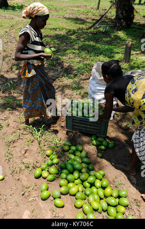 ANGOLA Kwanza Sul, village Cassombo, Avocado harvest - Stock Photo