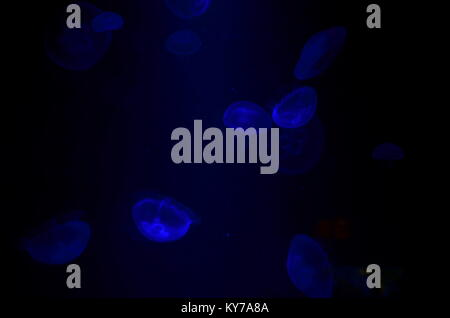Jellyfish under water looking blue by the light - Stock Photo