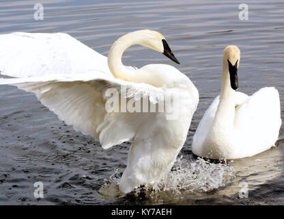 The Courtship Dance Of Two Trumpeter Swans - Stock Photo