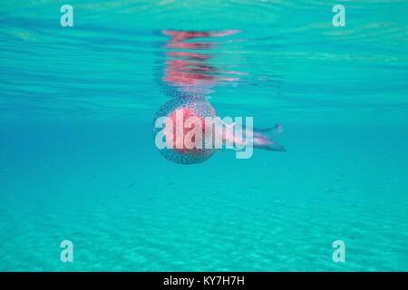 Jellyfish under water surface in the Mediterranean sea, mauve stinger Pelagia noctiluca, Spain, Costa Brava - Stock Photo