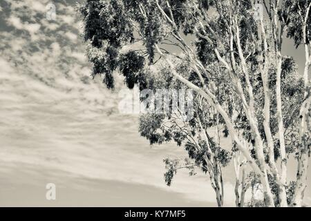 Gumtree with cloudy sky background, in silvertone, black and white, grayscale, Farmland and bush near Clairview, - Stock Photo