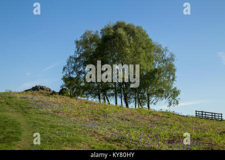 A group of silver birch trees surrounded by Bluebells on a hillside in Bradgate Park, Leicestershire, England,UK - Stock Photo
