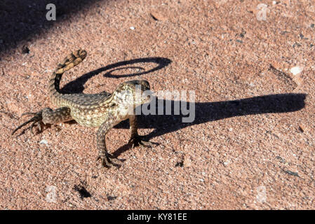 A lizard basks in the warm sun on the Caribbean / Bahamian Islands / Bahamas with a curled / curling tail - shadow - Stock Photo