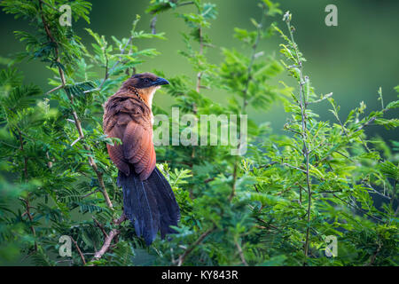 Burchell's coucal in Kruger national park, South Africa ; Specie Centropus burchellii family of Cuculidae - Stock Photo