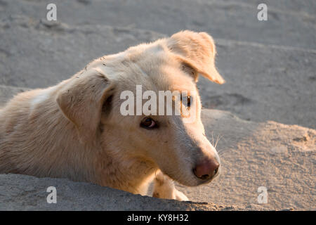 Healthy looking street dog relaxing on steps in Pokhara, Nepal - Stock Photo