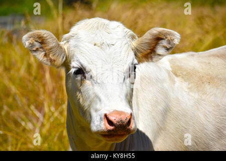 A white bull with ears up as if listening or on alert. - Stock Photo