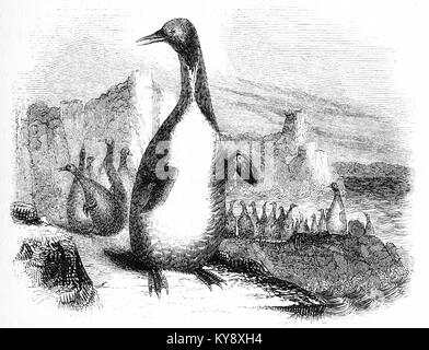 Engraving of an unidentified species of penguin at a time when the Antarctic was largely unexplored. From an original - Stock Photo