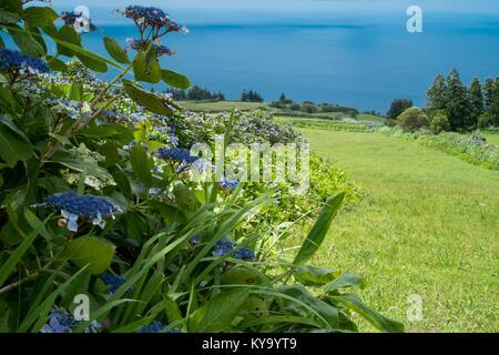 Hydrangea hedgerows on Faial island - Stock Photo