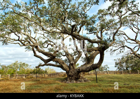 'Big Tree'  Southern Live Oak  'Quercus virginiana', in excess of  1000 years old. - Stock Photo