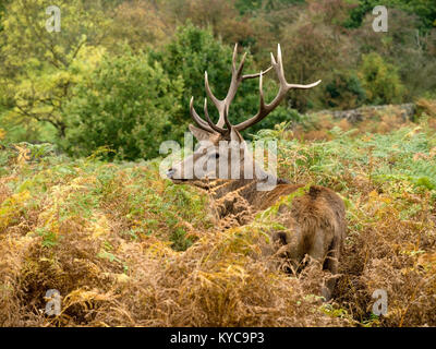 Single large adult male Red Deer Stag (Cervus elaphus) with antlers amongst tall bracken in Charnwood Forest, Leicestershire, - Stock Photo