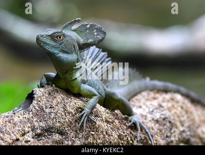 Emerald basilisk (Basiliscus plumifrons) in Costa Rica - Stock Photo