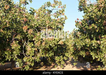 Rows of Pistachio trees, nuts maturing in orchard  'Pistacia vera'. - Stock Photo