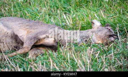 Dead roe deer, Capreolus capreolus, lying in grassy field, with eye pecked out by birds, East Lothian, Scotland, - Stock Photo