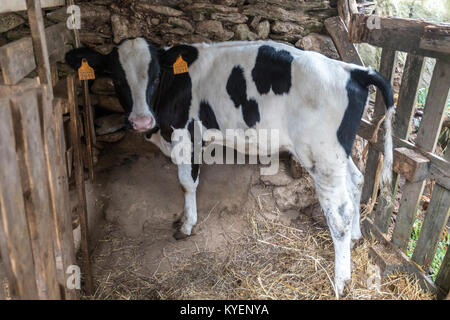 Tagged and isolated calf in a dairy cows farm in the rural village of Rios, Paradela, Lugo Province, Galicia, Spain - Stock Photo