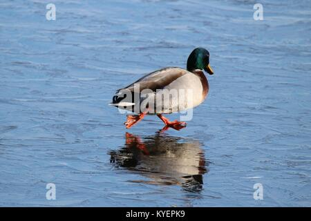 A drake mallard duck Anas platyrhynchos walking on a frozen pond in winter with the appearance of an ice skater. - Stock Photo