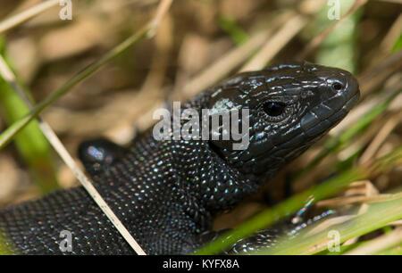 Melanistic/Black Male Common Lizard/Viviparous Lizard Zootoca vivipara Northern England Pennines - Stock Photo