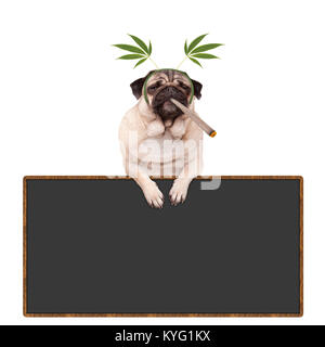 pug puppy dog being high, smoking marijuana weed joint, wearing hemp leaves diadem, hanging on blackboard sign, - Stock Photo