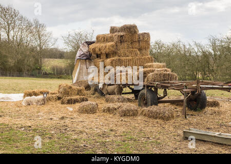 Sheep grazing along side a farm trailer with bales of hay. Leicestershire UK - Stock Photo