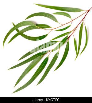 fresh eucalyptus leaves isolated on white - Stock Photo
