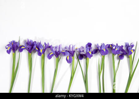 Violet Irises xiphium (Bulbous iris, sibirica) on white background with space for text. Top view, flat lay. Holiday - Stock Photo