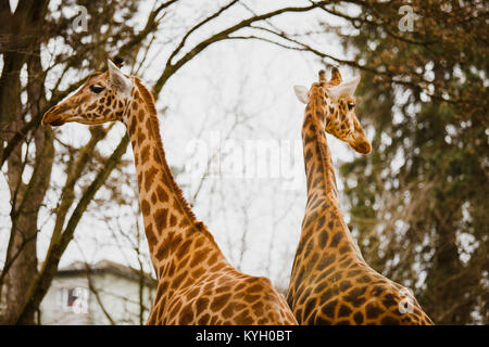 two adult giraffe looking in different directions close-up in the cold season in cloudy weather. - Stock Photo