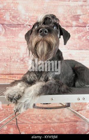Mini schnauzer portarit - Stock Photo