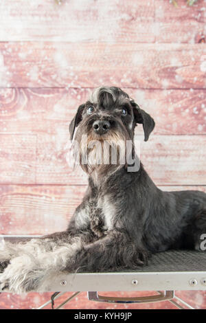 Mini schnauzer portarit - Stock Photo