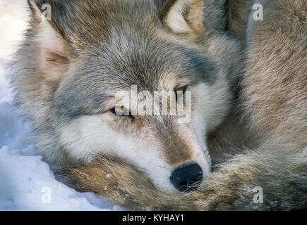Gray Wolf At Rest - Stock Photo