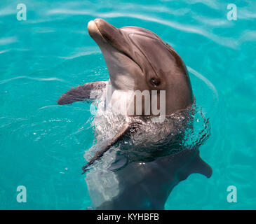 Bottle nosed dolphin - Stock Photo