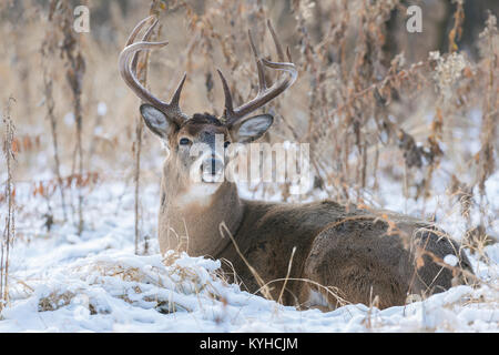 White-tailed deer( Odocoileus virginianus), Fort Snelling State Park, MN, USA, Early December, by Dominique Braud/Dembinsky - Stock Photo