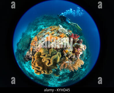 A circular fisheye photo of a scuba diver swimming around a coral reef bommie with sponges and soft corals in Raja - Stock Photo