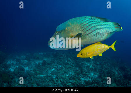 A large Napoleon wrasse swimming over a reef accompanied by a golden trevally – they hunt smaller fish together, - Stock Photo