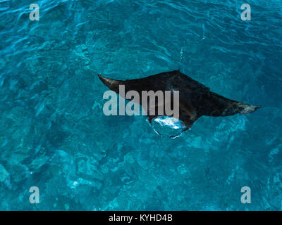 Aerial photo of a reef manta (Manta alfredi) feeding at the surface in clear blue water at the site 'Manta Alley' - Stock Photo