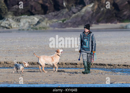 Dog walking in Cornwall - a mature woman walking her dogs on Polzeath Beach on the North Cornwall Coast. - Stock Photo