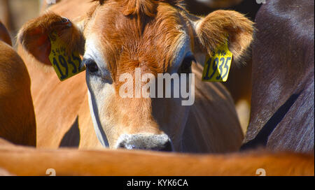Cow caught in the middle of the herd at a cattle ranch. - Stock Photo