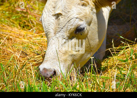 Cow grazing on grass closeup.  A fly is near the eye. Some grass shadows are on her face. - Stock Photo
