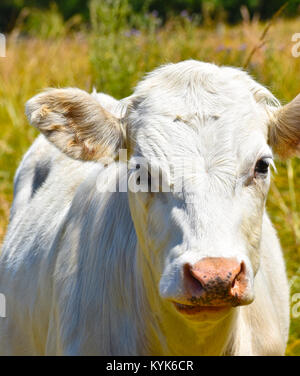 White bull cow close up in a blurred field of tall grasses.  He has a little bit of grass on his forehead and a - Stock Photo