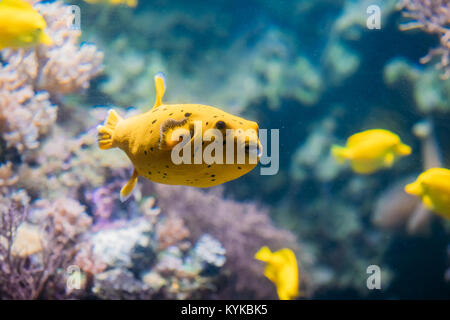 Yellow Blackspotted Puffer Or Dog-faced Puffer Fish Arothron Nigropunctatus Swimming In Water. If Not Prepared Properly, - Stock Photo