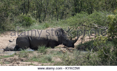 a white rhino takes a mud bath at a water hole in hluhluwe imfolozi game reserve - Stock Photo