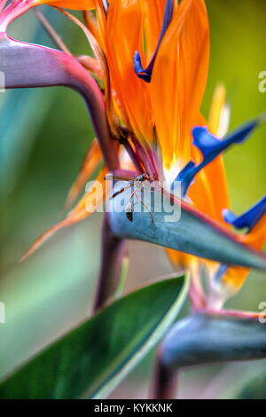 Strelitzia is a genus of five species of perennial plants, native to South Africa. It belongs to the plant family - Stock Photo