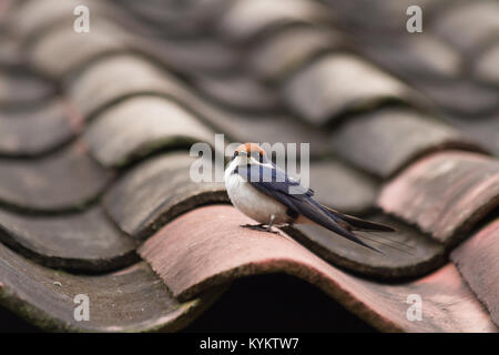 A Wire-tailed Swallow on a roof in Arusha, Tanzania - Stock Photo