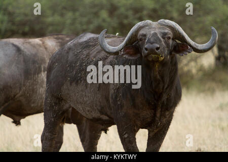 An African Buffalo, or Cape Buffalo, stands in a defensive position in Serengeti National Park, Tanzania - Stock Photo
