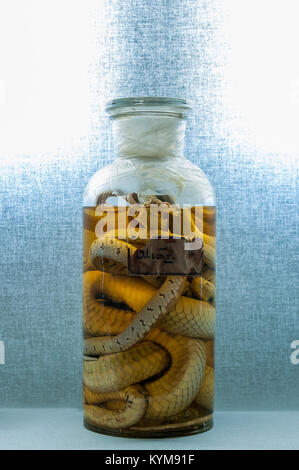 Snake preserved in alcohol in a glass container 27430820415 o - Stock Photo