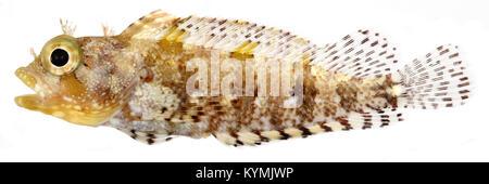 Labrisomus bucciferus, Adult (Puffcheek Blenny) 2849264382 o - Stock Photo