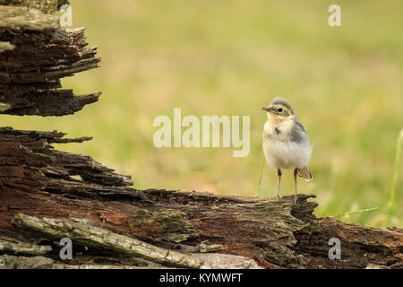 Close up of a juvenile White Wagtail, Motacilla alba. A bird with white, gray and black feathers, the young birds - Stock Photo