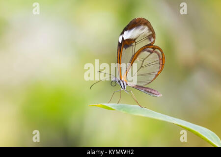 Close up portrait of a Greta oto, the glasswinged butterfly or glasswing. The background is brightly lit and vibrant - Stock Photo