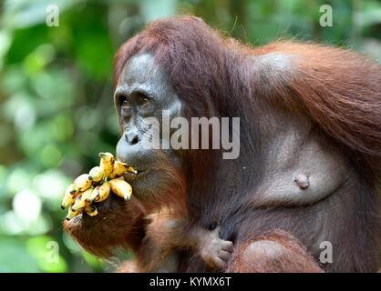 Mother orangutan and cub in a natural habitat. Bornean orangutan (Pongo  pygmaeus wurmmbii) in the wild nature. - Stock Photo