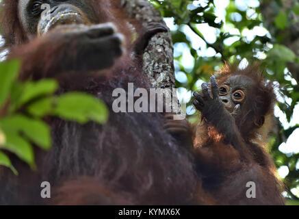 Orangutan baby and mother. Mother and cub in a natural habitat. Bornean orangutan (Pongo  pygmaeus wurmbii) in the - Stock Photo