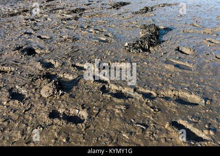 Footprints in the river mud. Lots of prints in mud. - Stock Photo